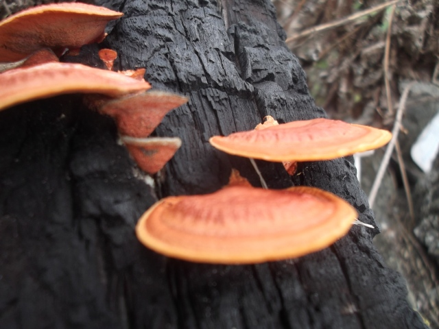 Unidentified shelf fungus growing from a burnt log in South Eastern Taiwan.