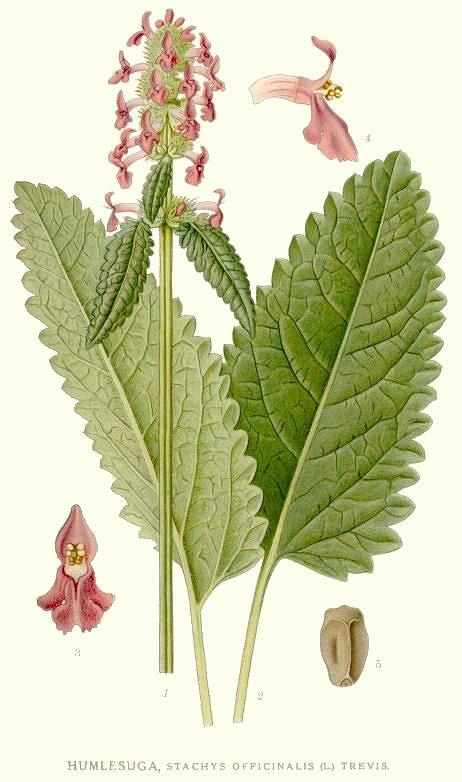 A botanical illustration of Wood Betony.