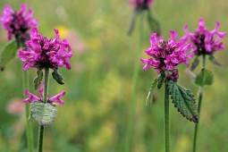 Image result for Betony (Betonica officinalis)