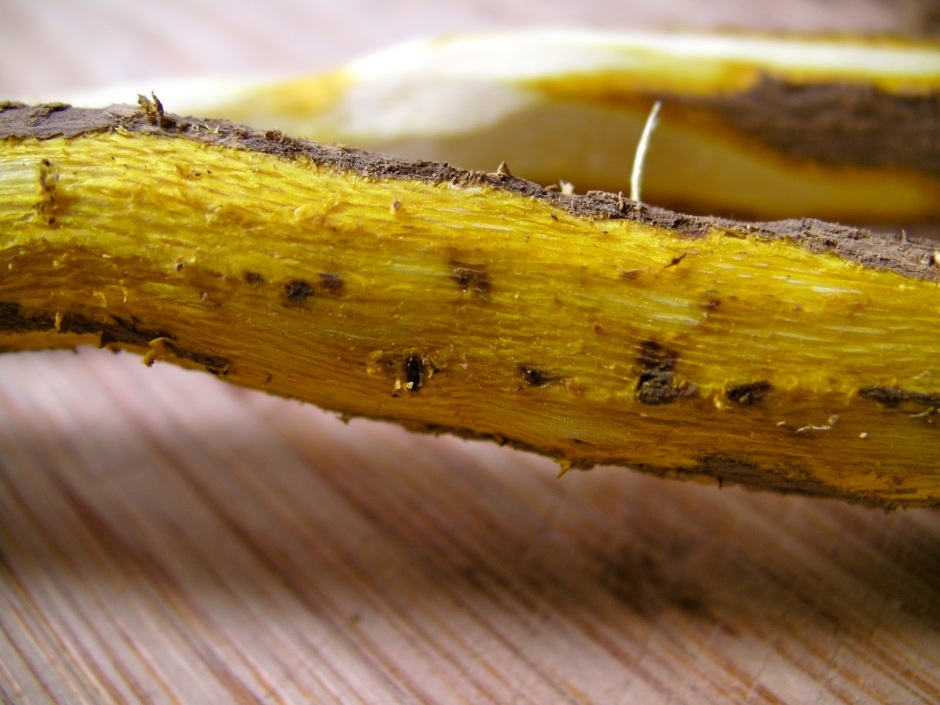 Close up of the bright yellow root of Oregon Grape.