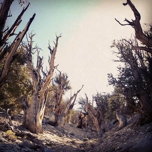 The oldest trees on earth - Pinus longaeva - in the Inyo/White ranges of Eastern California.