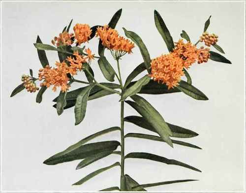 Butthrfly-Weed-Pleurisy-Root-Asclepias-tuberosa