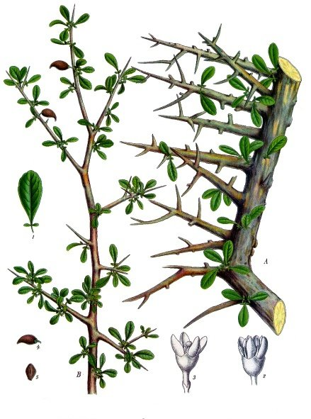 The thorny branches of the myrrh tree