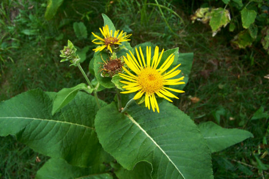Elecampane-Inula-helenium-in-bloom