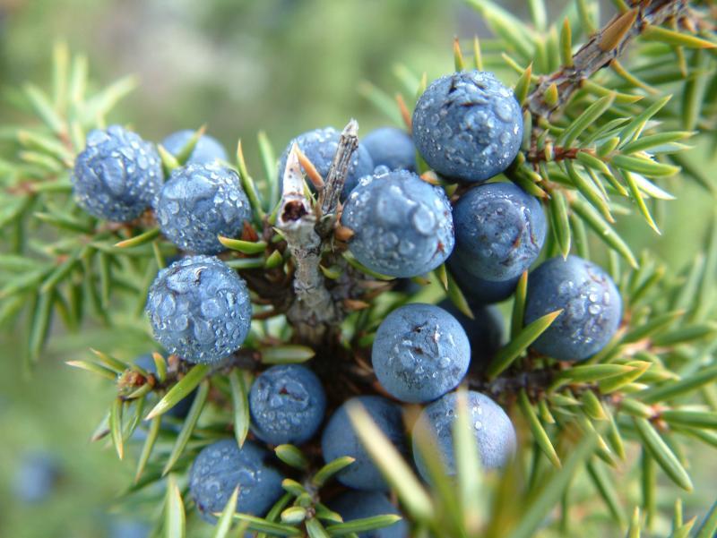 Juniper Berries Juniperus Communis Lone Pine