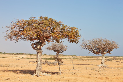 myrrh tree (Commiphora myrrha)