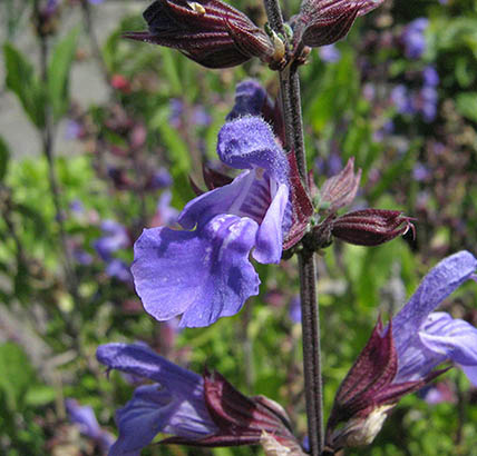 The bilabiate flowers of Salvia officinalis.