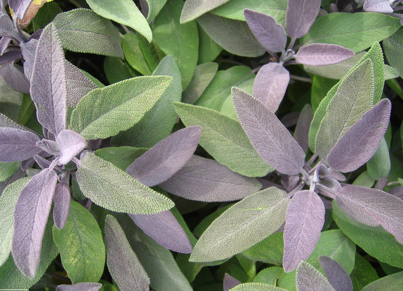 Salvia purpurascens, a purple variety of Common Sage.