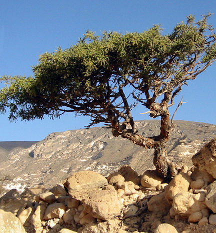 A myrrh tree in it's typical dry environment