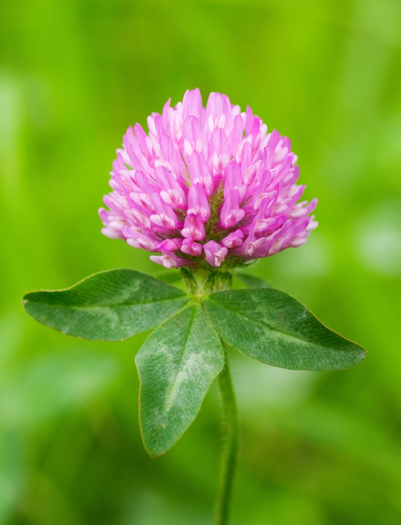 Close up of the flower head of Red Clover.