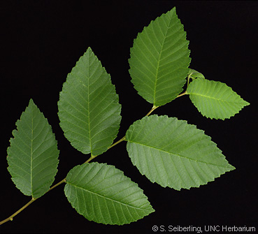 Note the alternating, asymmetrical leaves of the Elm.