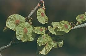 The fruit -  oval-winged samaras.