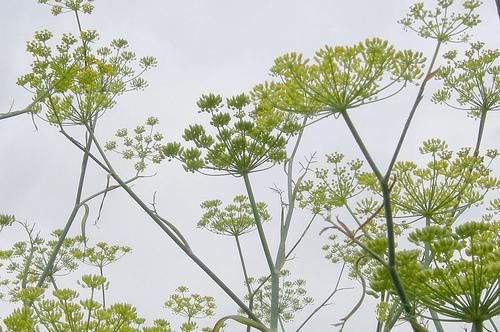 Fennel flowers.