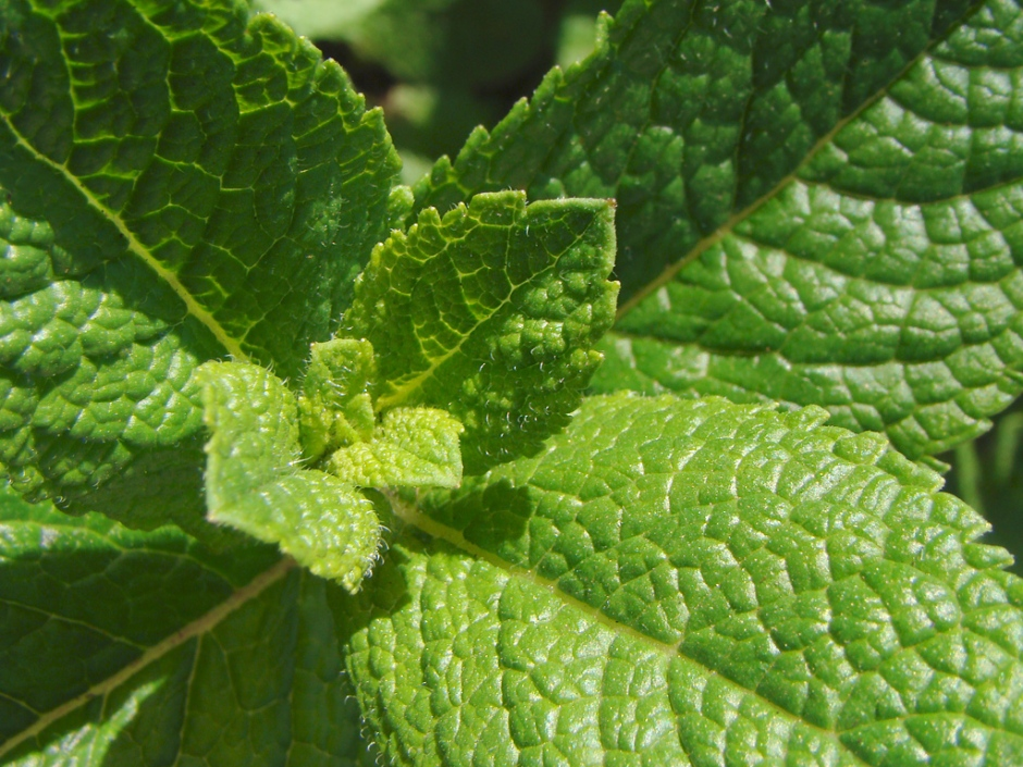 Closeup of the leaf texture of mentha spicata