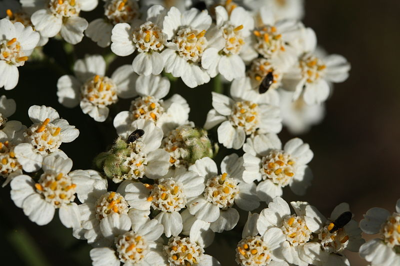 Closeup of Yarrow flowers.