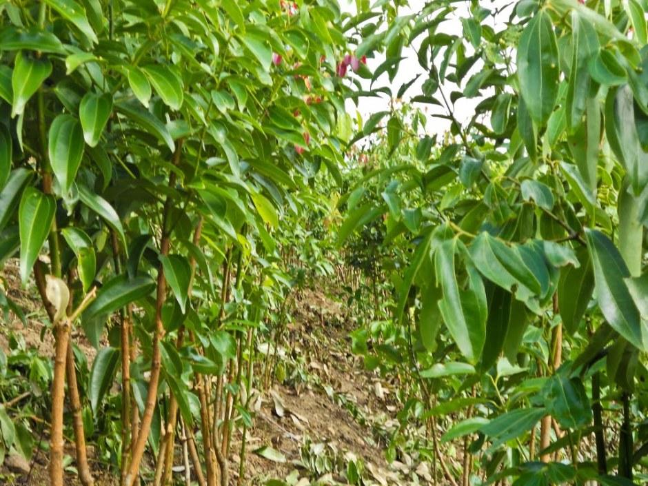 A cinnamon plantation.