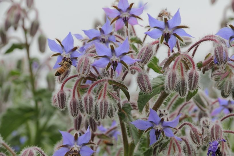 A cluster of Borage flowers.