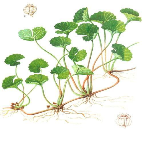 An illustration clearly showing the  plant's structure and low lying flowers.