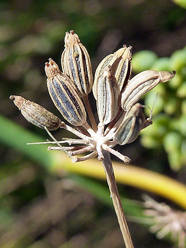 A dried umbel of fennel seeds.