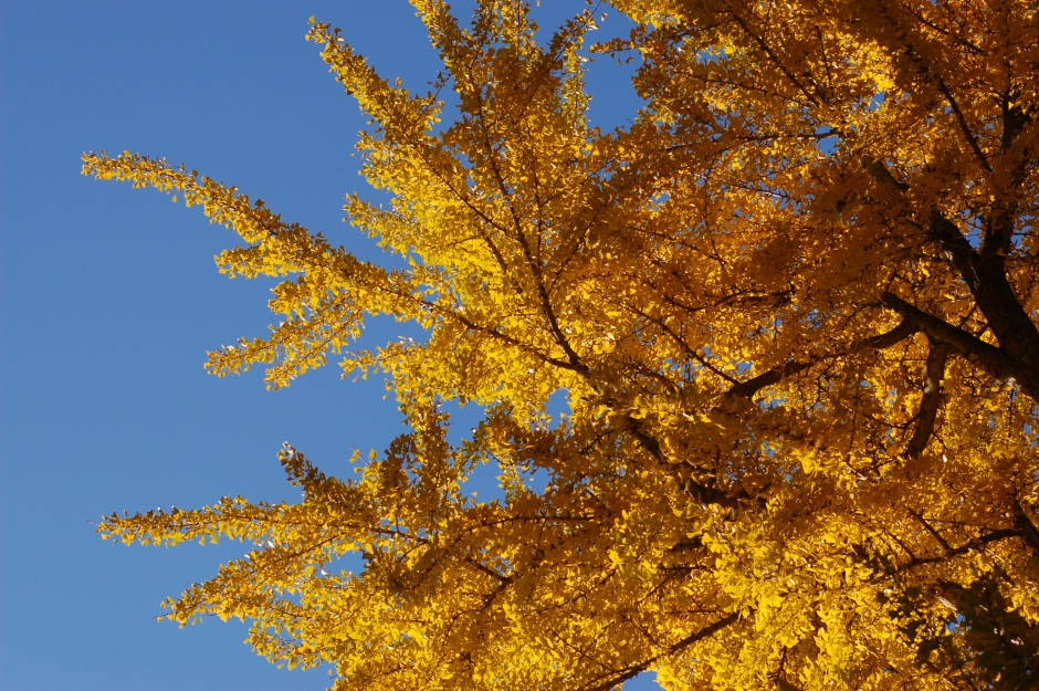 The yellow fall foliage of the Ginkgo biloba.