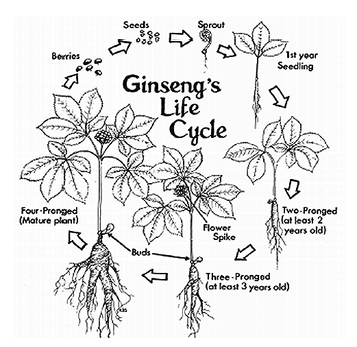 The life cycle of a ginseng plant.