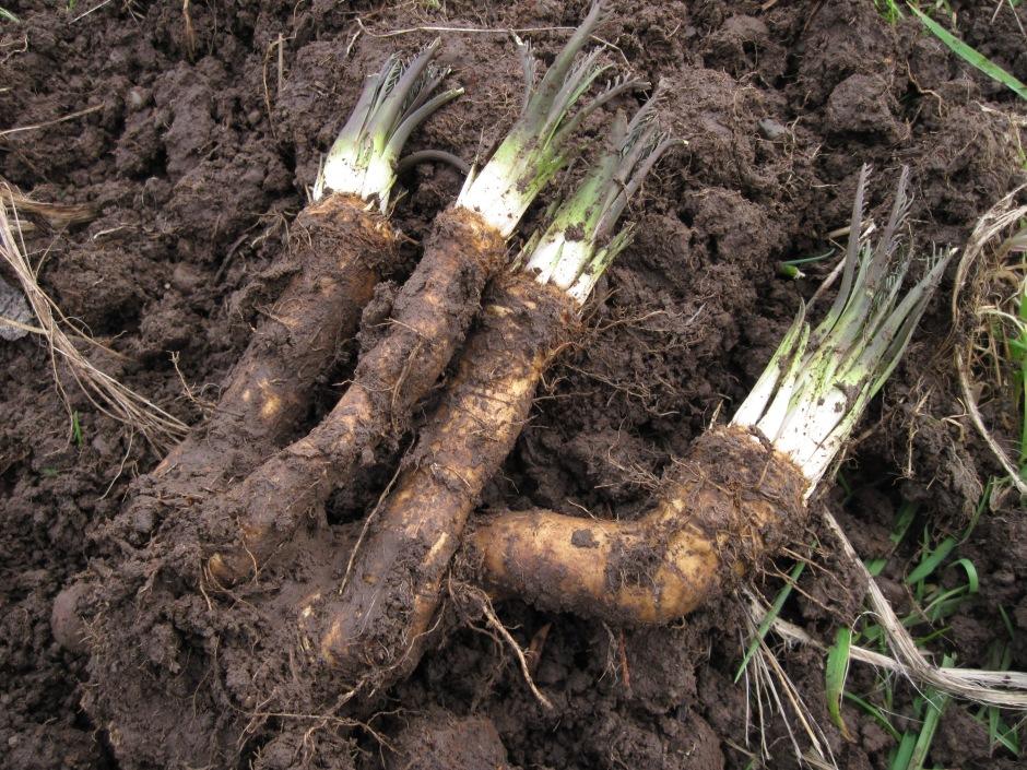 Freshly dug horseradish roots.