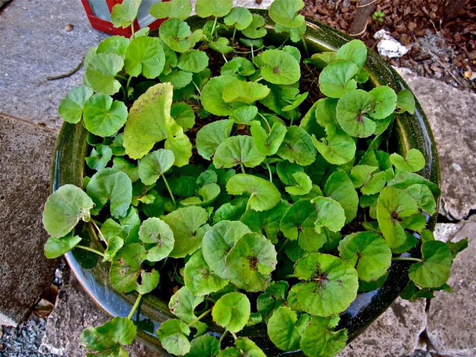 Growing Gotu Kola in a glazed ceramic pot to retain moisture, as it prefers swampy soils.