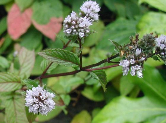 Flowers of the peppermint plant.