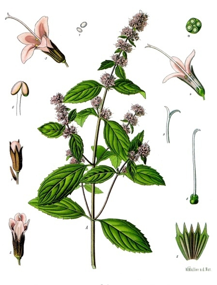 A botanical illustration of Peppermint.
