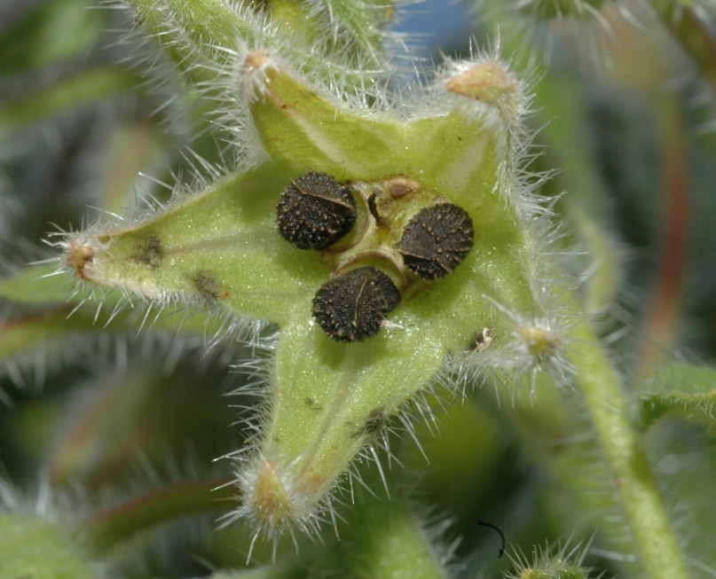Seeds of the Borage plant.