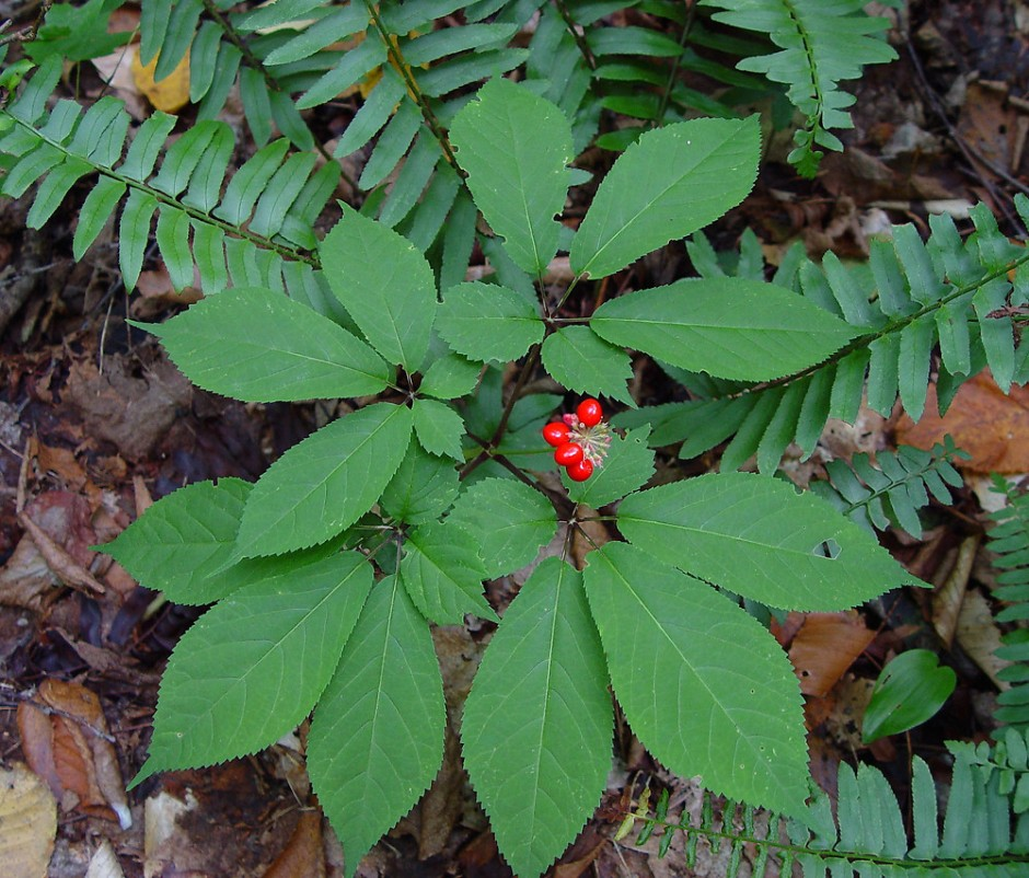 A ginseng plant in the wild.