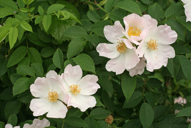 Flowers and leaves of Rosa canina.
