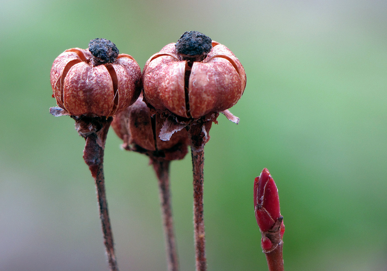 The fruiting bodies of Chimaphila umbellata