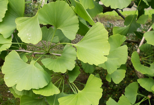 Closeup of Ginkgo biloba leaves.