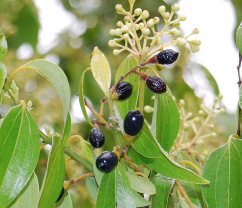 Flowers and fruit of the cinnamon tree.