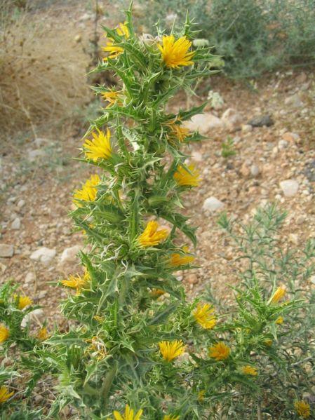 449px-Scolymus_hispanicus