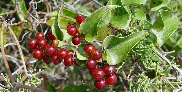 Sarsaparilla in fruit.