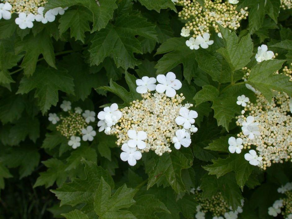 Crampbark in flower