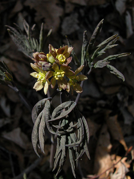 Blue cohosh flowers with dying leaves.