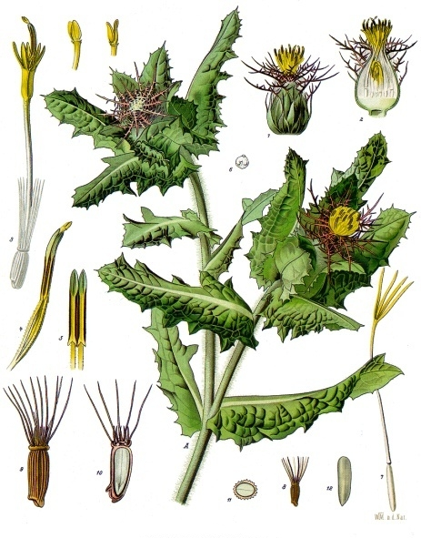 A 19th century botanical illustration of Blessed Thistle.