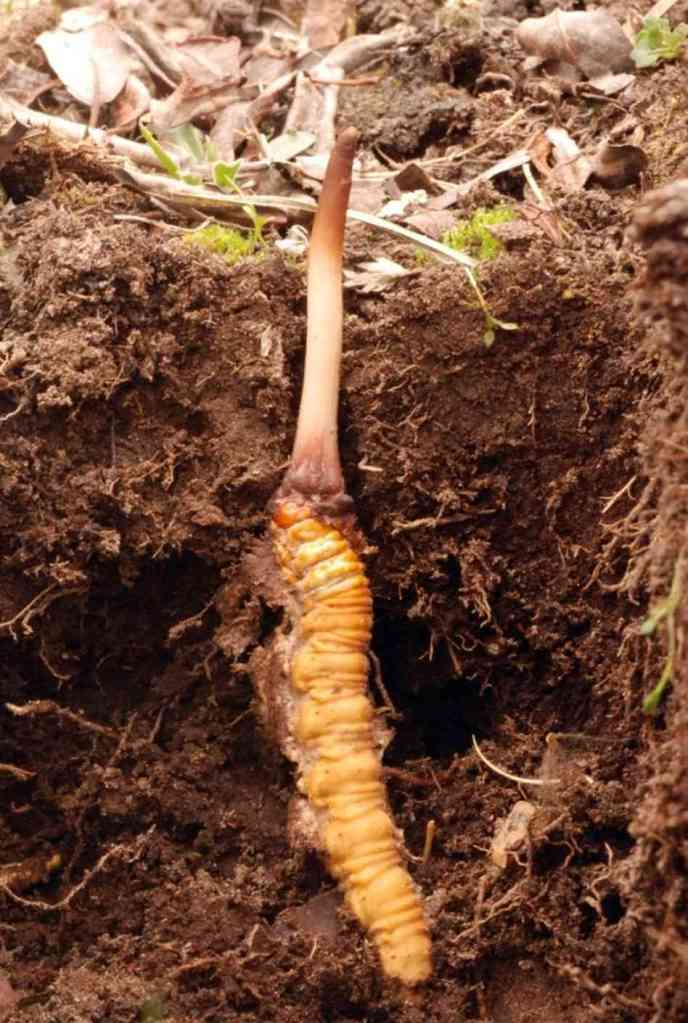 cordyceps-in-ground-exposed_custom-42e66409028afeaf4ac1dd83828f880cf72abd1b-s6-c30