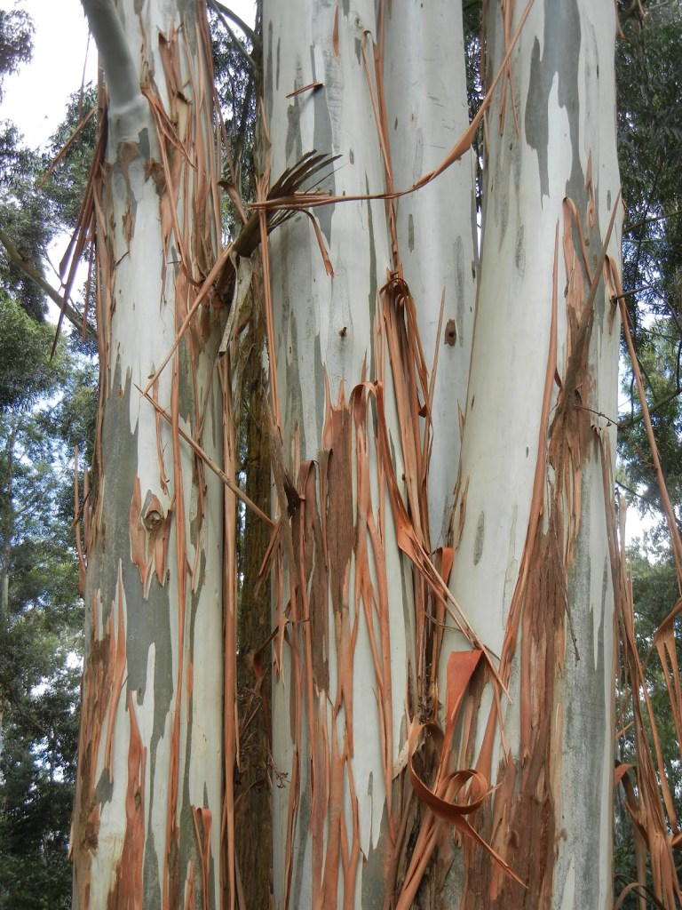 The peeling bark of the Eucalyptus