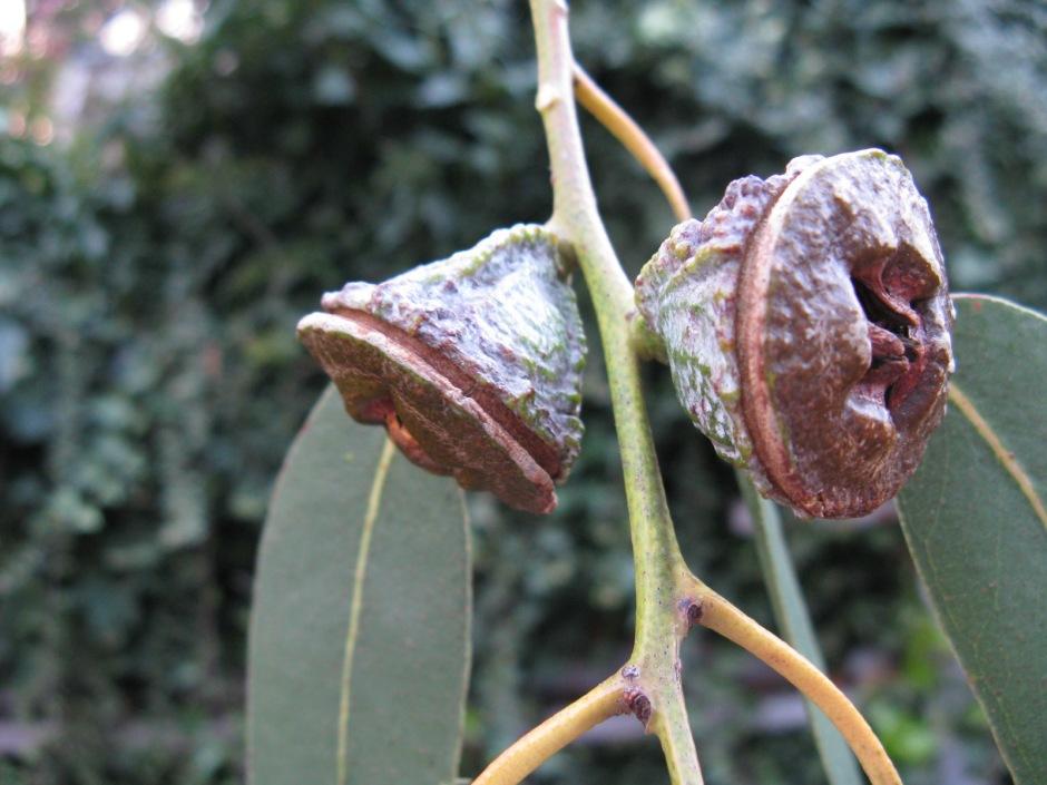 Eucalyptus globulus fruit