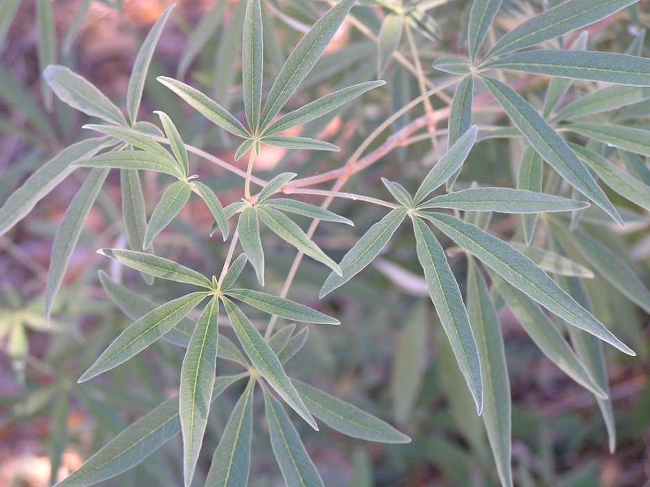 Leaves of the chaste tree