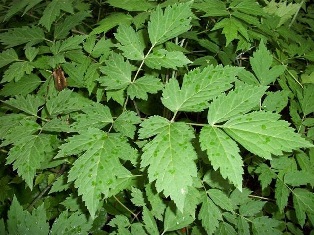 Black Cohosh leaves.