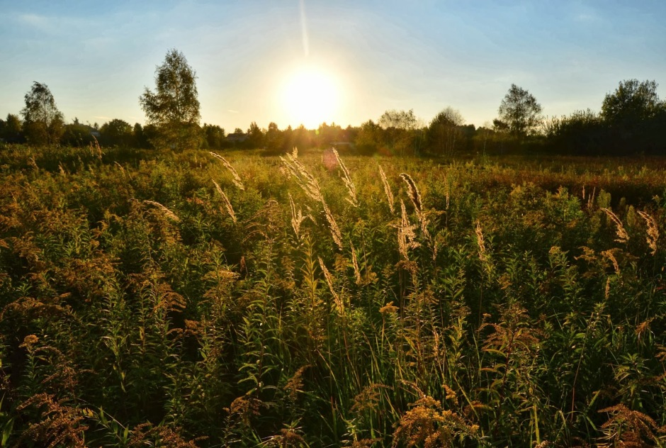 A field of mugwort and other disturbance plants.