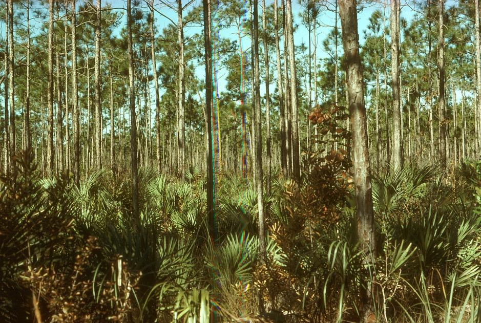 A typical Saw Palmetto plant community.