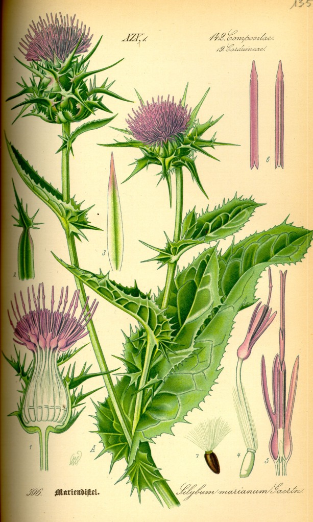 Illustration_Silybum_marianum0