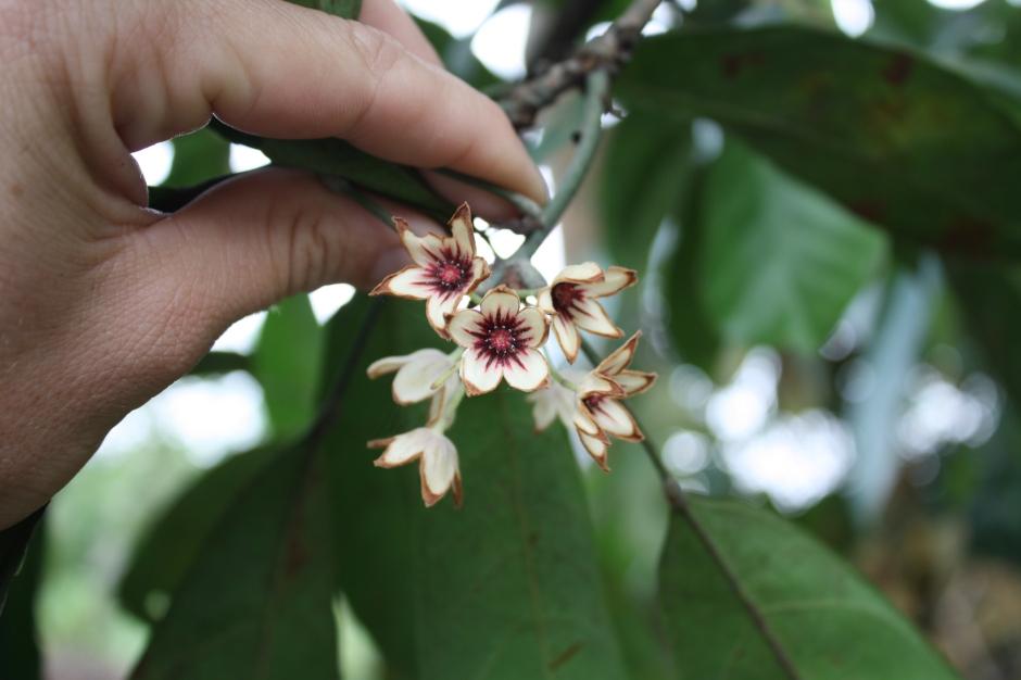 Kola flowers.