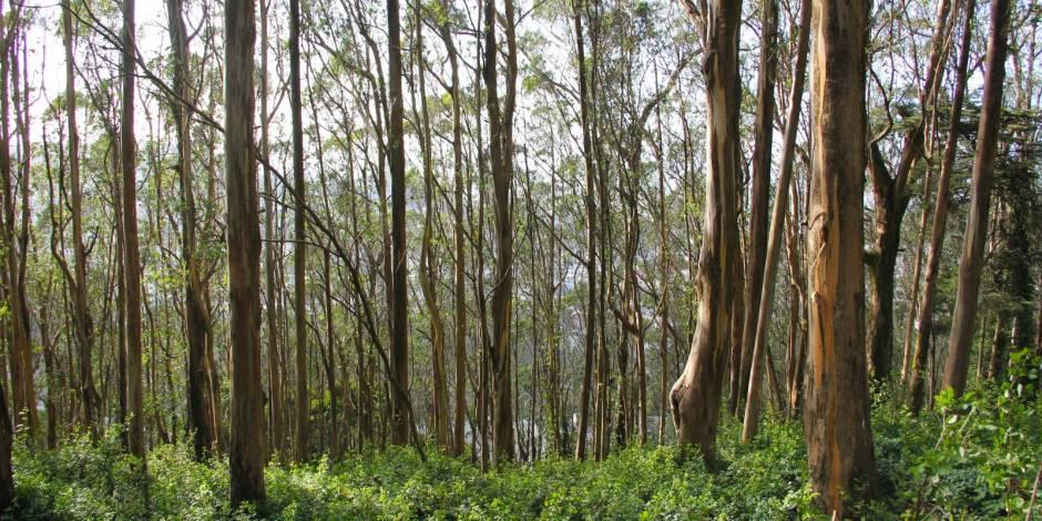 A Eucalyptus forest
